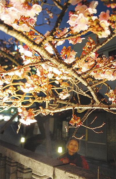 もう夜桜の季節