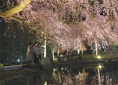 27日夜から「しだれ桜の宴」