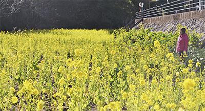 千歳川河岸一面の黄色