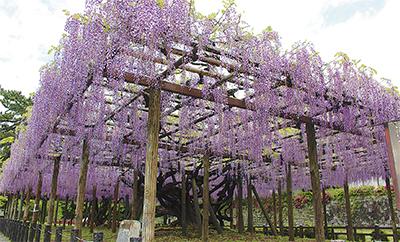 紫色の雨降り注ぐ