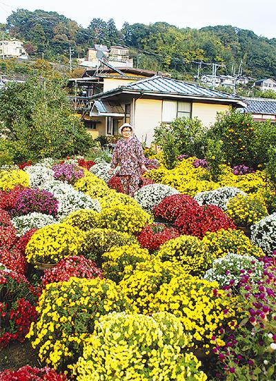ざる菊おばさん、今年も咲かす