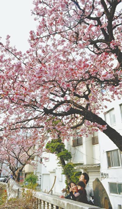 1月下旬〜糸川桜