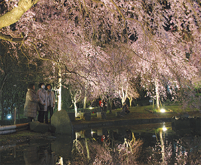 しだれ桜の宴1日まで照明