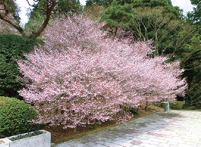 離宮跡地に300本の桜