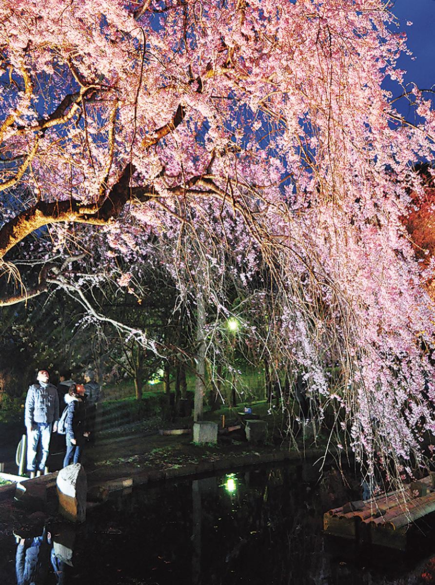 しだれ桜の宴ライトアップ