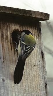 巣材を運ぶシジュウカラ