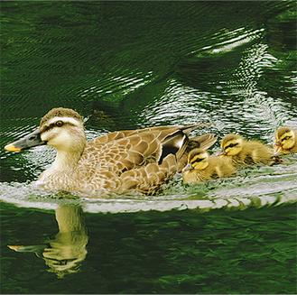 水面を泳ぐカルガモの親子写真は5月20日撮影