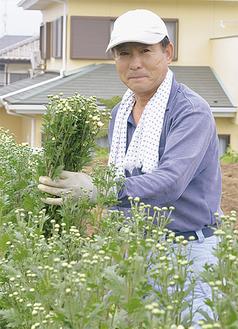 小菊を収穫する栗原さん