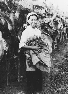 たばこ葉の収穫をする女性の写真
