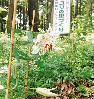 7月上旬に開花したヤマユリ