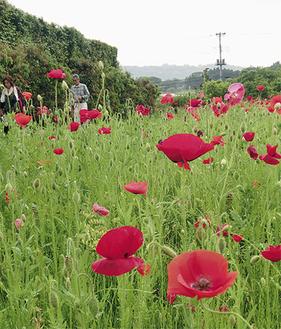 開花したポピー(5月21日撮影)