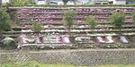 開花時期の芝桜「MEISUI」の文字が読める
