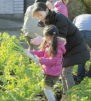 大根を収穫する親子