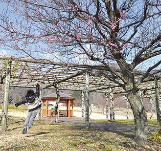 梅の花に向かってジャンプ(県立秦野戸川公園・1月25日撮影)