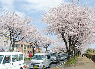 「はだの桜みち」(撮影場所・今泉台3丁目付近)