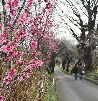 これから見ごろを迎える参道の梅(2月21日撮影)