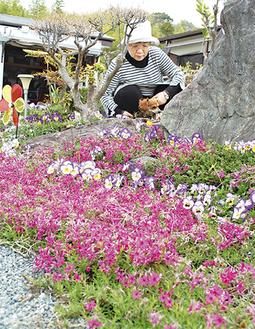 愛犬とともに芝桜の手入れをする矢野さん
