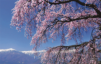 作品「春爛漫」撮影場所:長野県駒ケ根市
