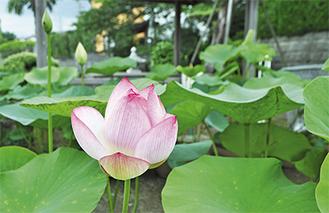 境内に咲くハスの花(6月22日撮影)