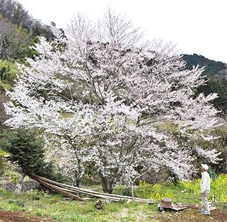 枝いっぱいに花を咲かせる淡墨桜=2日撮影