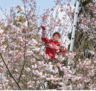 摘み取り作業をする桜花農家(2012年4月)
