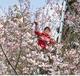 「八重桜の里」存続へ課題