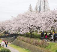 ハダ恋桜でまちをPR