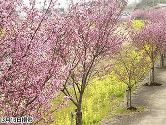 見頃を迎えたオカメ桜と菜の花 =中村雄二氏提供