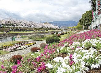 満開の芝桜=写真は昨年