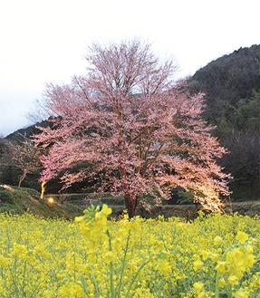 ライトアップされるピンクに色付く淡墨桜(8日撮影)