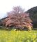 淡墨桜、秦野でほころぶ