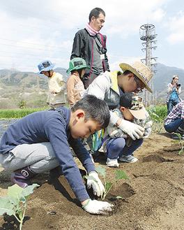 ブロッコリーの苗を植える参加者ら