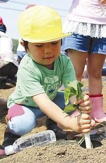 力強く苗を挿し込む園児