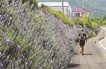 戸川公園そばのラベンダー