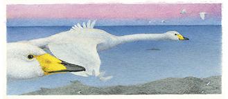 ぎゃらりーぜんに展示予定の『宮沢賢治の鳥』原画