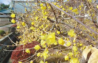 境内に咲くロウバイ(1月8日撮影)