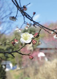 花開いた香雲寺の梅(2月12日撮影)