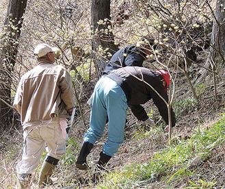 雑木をどかし、ミツマタの群生地を手入れする人たち(昨年)