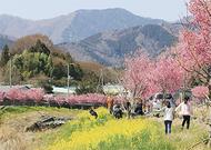 春日和、おかめ桜と菜の花と