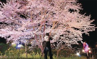 蓑毛の薄墨桜/3月26日撮影【アクセス】緑水庵から秦野・清川線沿いに約300m上る。又はバス停「蓑毛中」から少し坂を下った左側