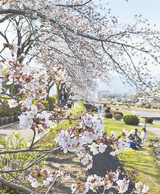 水無川沿いのソメイヨシノ3月26日撮影