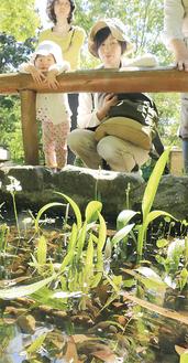 でんじそう池でオタマジャクシをじっと観察する親子