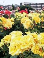 華麗な春バラ、色彩豊かに