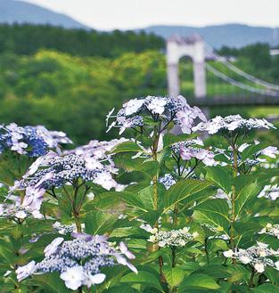 開花し始めたガクアジサイ=5月28日撮影