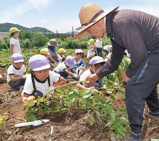 会員に教わりながらジャガイモを掘りだす園児
