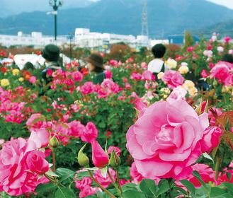 約70種のバラが咲き誇る園内