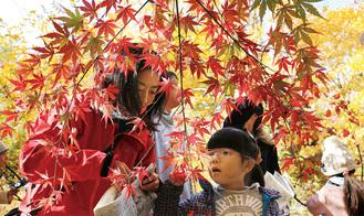 紅葉したカエデの葉を観察する親子