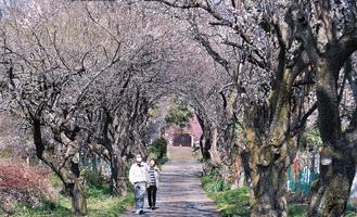 見ごろを迎えた参道の梅(2月18日撮影)