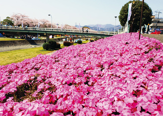 可憐に咲く芝桜(昨年の様子)