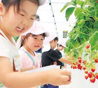 イチゴを摘み食べる園児たち